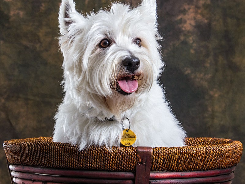 westie dog insured with pet insurance in SC