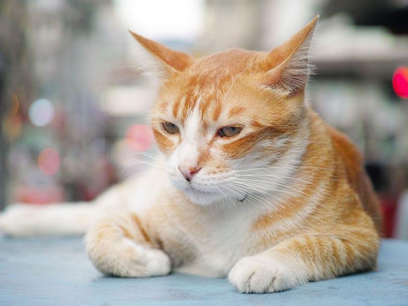 cat insured in SC